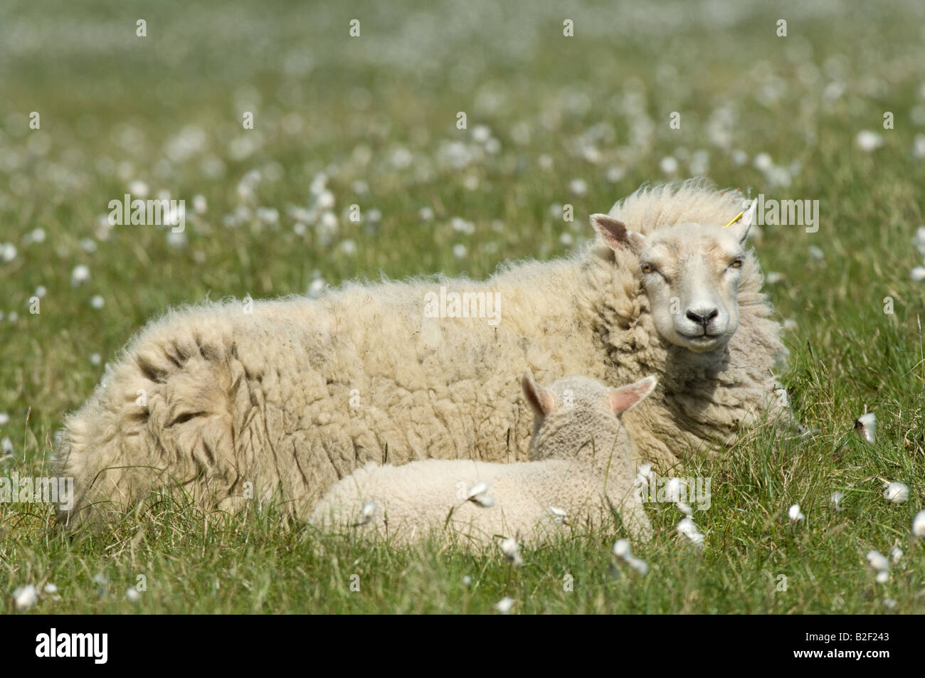 Shetland Sheep White Ewe with lamb resting among cotton grass Hermaness Unst Shetland Islands Scotland UK Europe - Stock Image