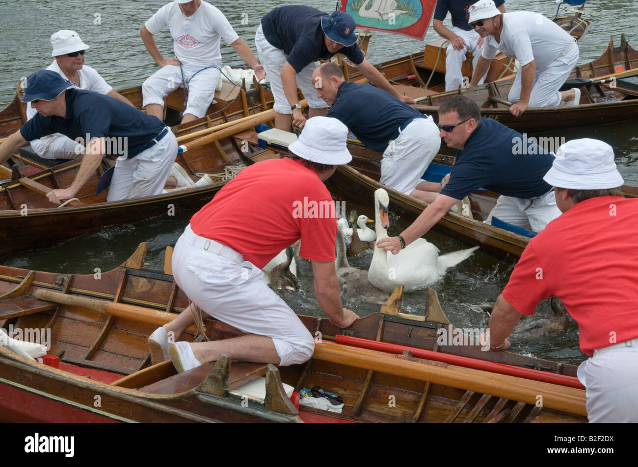 The swans are now in a narrow triangle of water. Uppers reach out to grab the adults by the neck and lift them from - Stock Image