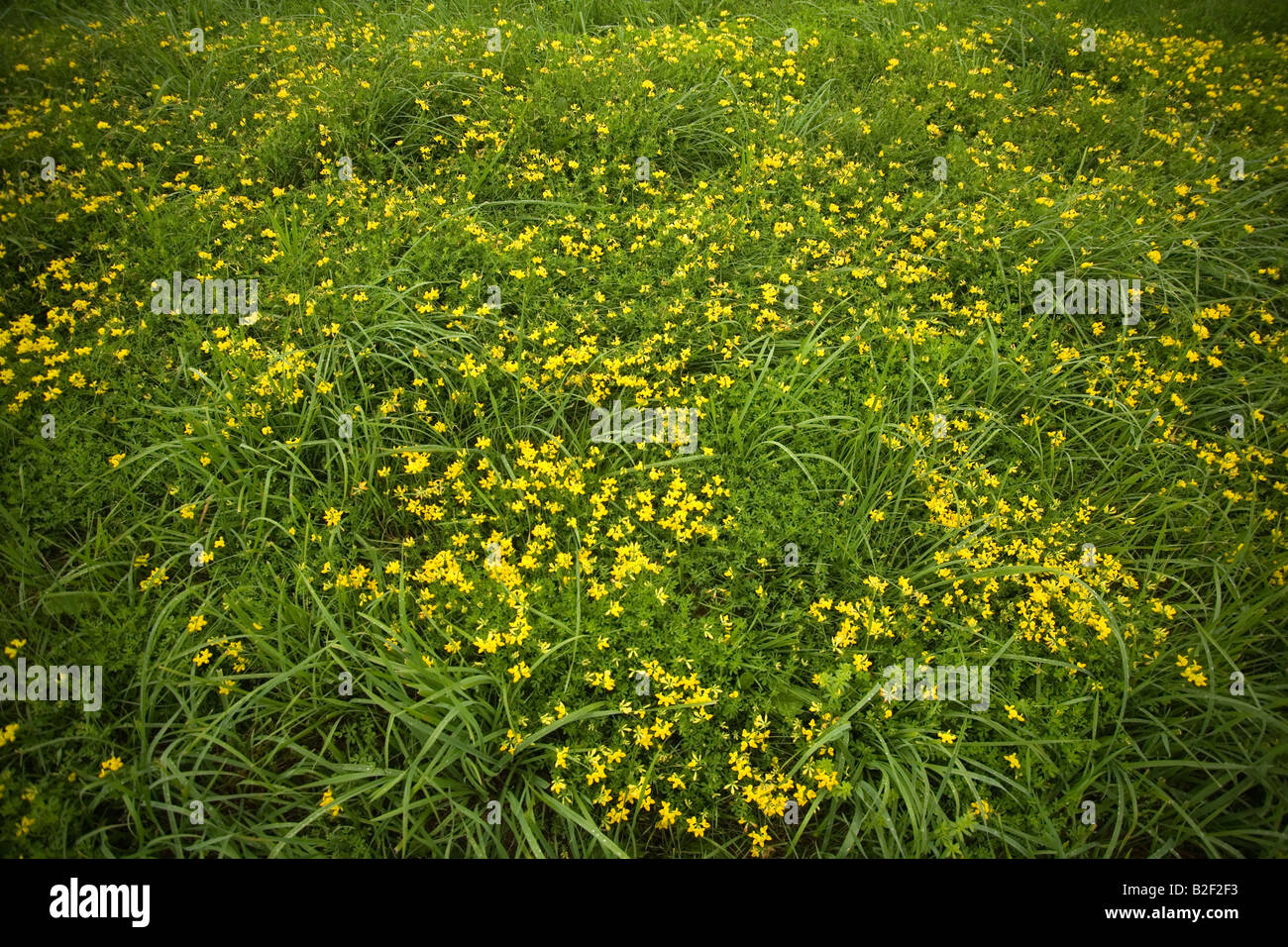 Freedom Field Of Yellow Flowers And Green Grass In New England With