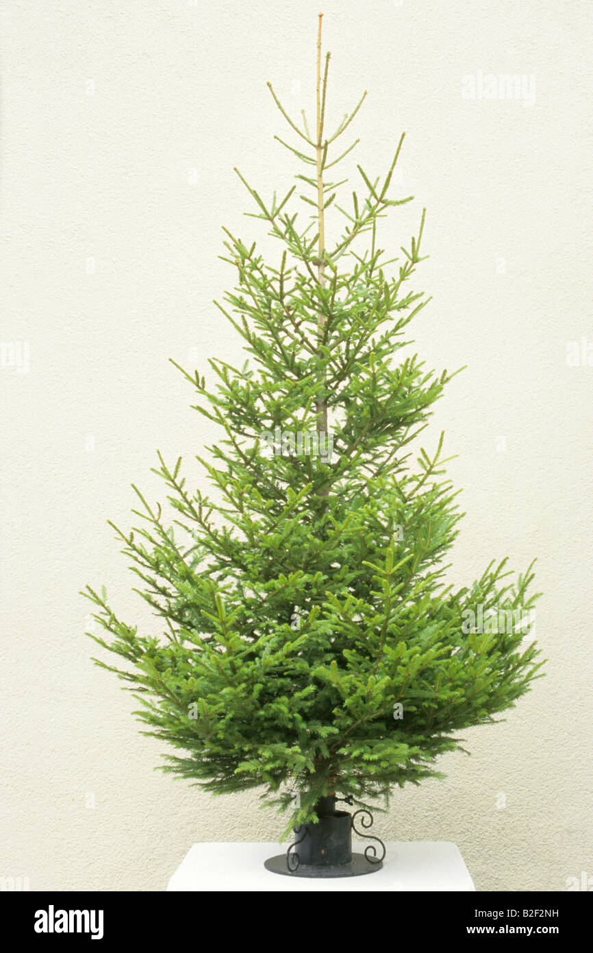 Norway Spruce, Common Spruce (Picea abies) as undecorated Christmas tree - Stock Image