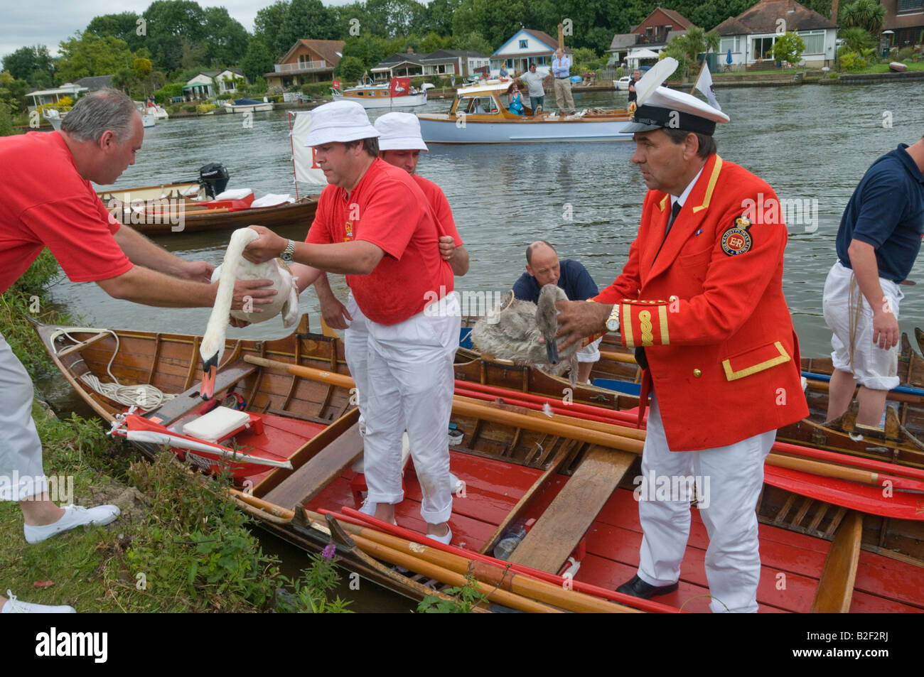 The Queen's Swan Marker  and uppers hand swans over to those on the riverbank - Stock Image