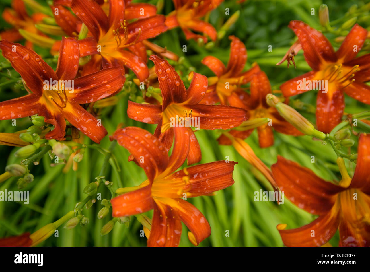 Blooming relaxing calm tranquil red orange perennial tiger lilies on sunny day in quiet New England field with dew Stock Photo