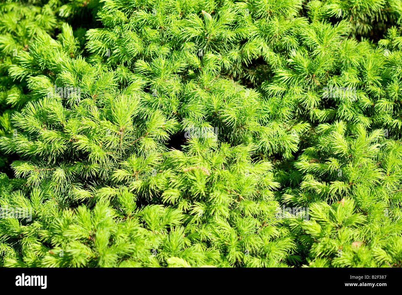 Beauty in nature . conifer - Stock Image