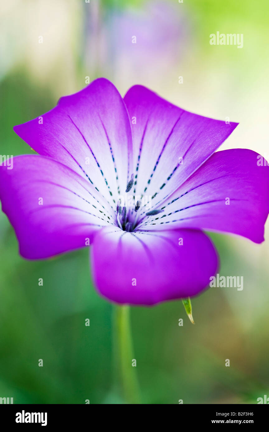 Agrostemma gracilis. Graceful Corncockle flower - Stock Image
