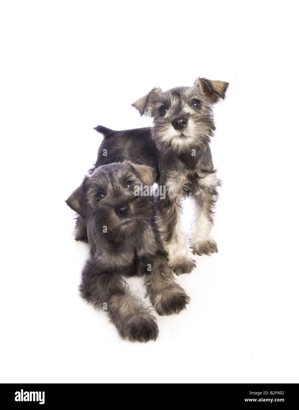 Two Adorable Miniature Schnauzer Puppies Playing Together