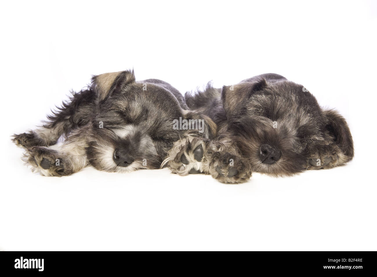 Two Adorable Miniature Schnauzer puppies lying down asleep isolated on white background - Stock Image