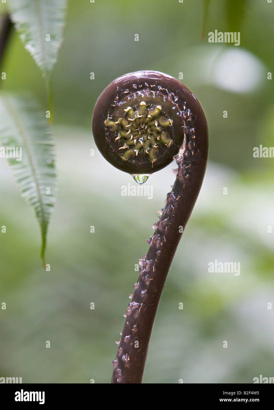 A large fern fiddlehead growing in a rain forest in Dominica West Indies - Stock Image