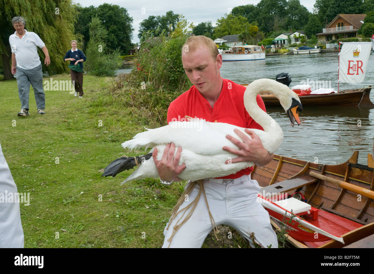 This swan with its tied feet sits quietly in the upper's arms as it is brought onto the river bank for examination - Stock Image