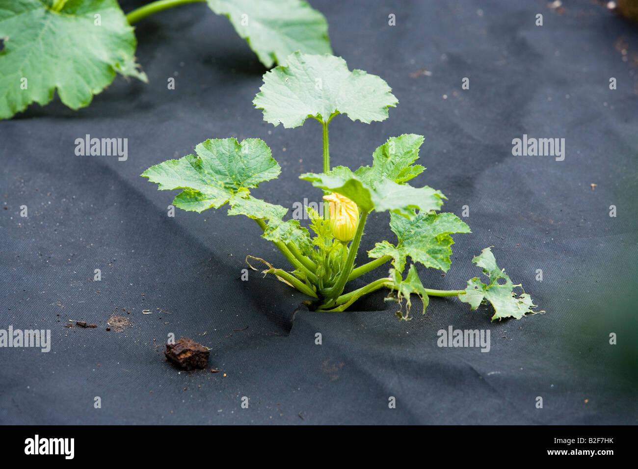 marrow grown through plastic sheeting in a vegetable garden - Stock Image