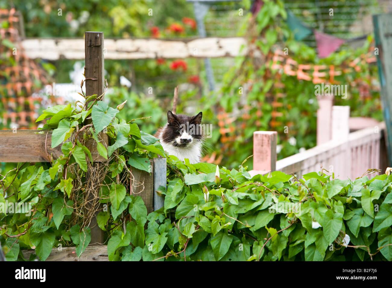 old tom cat on an inner city allotment - Stock Image
