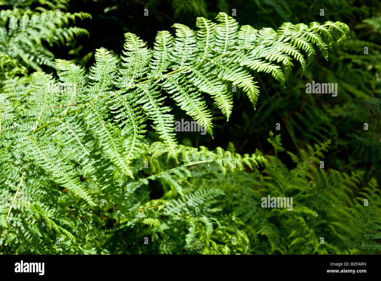Ferns Bracken flora greenery - Stock Image