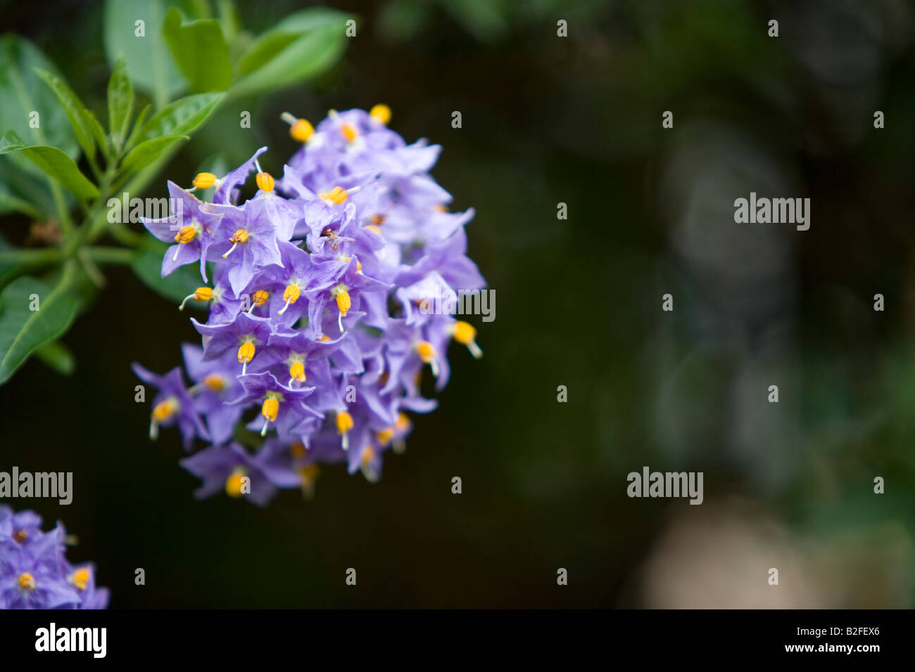 purple flowers, related to the potato - Stock Image