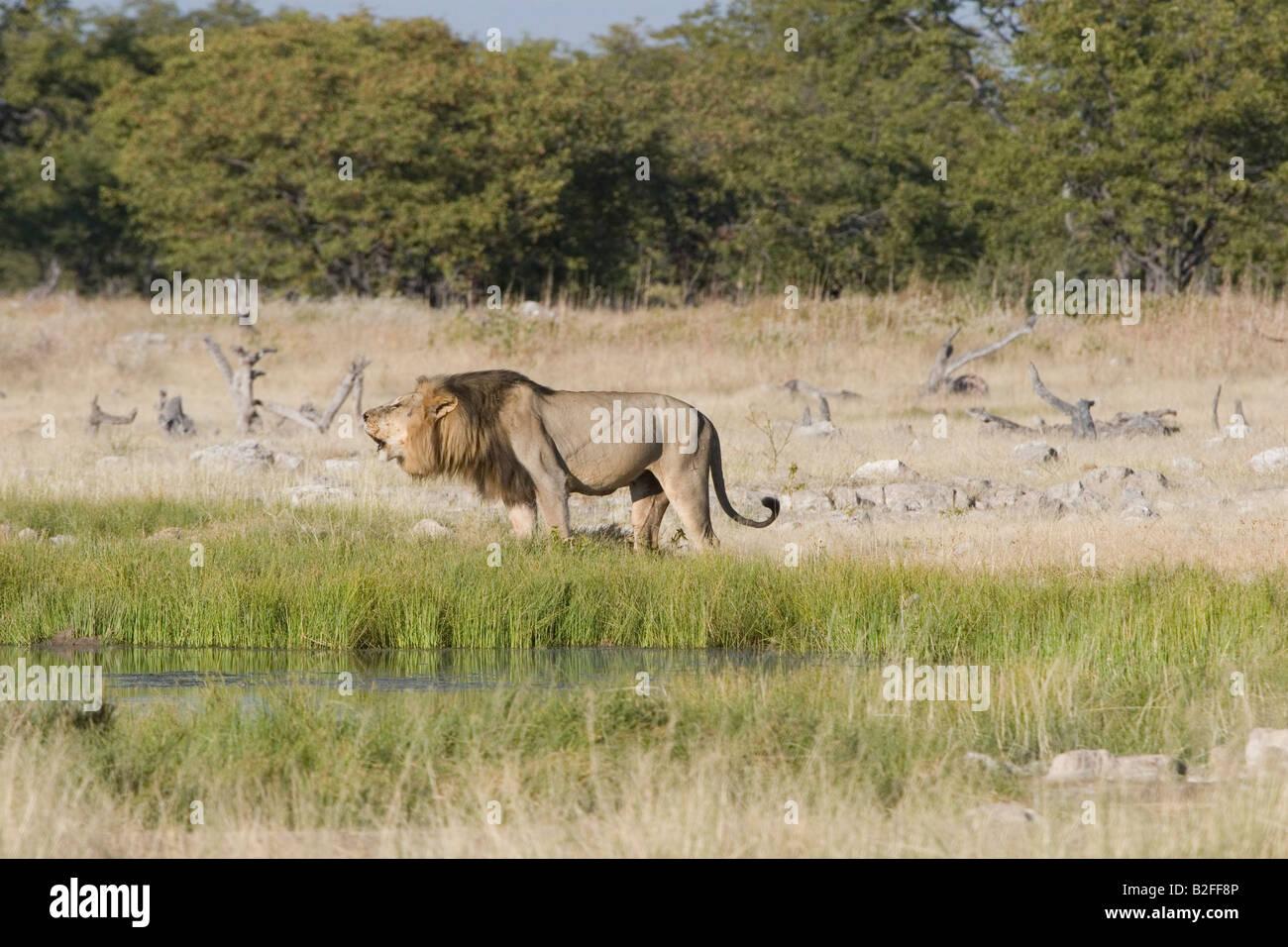 Male Lion Roars - Stock Image