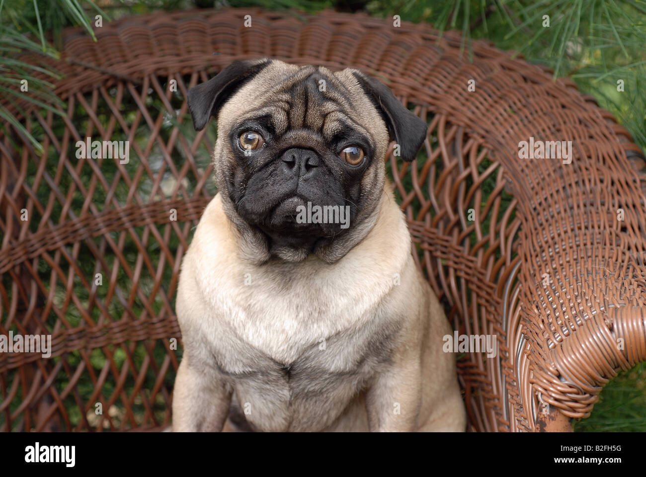 Pug Dog in Wicker chair - Stock Image