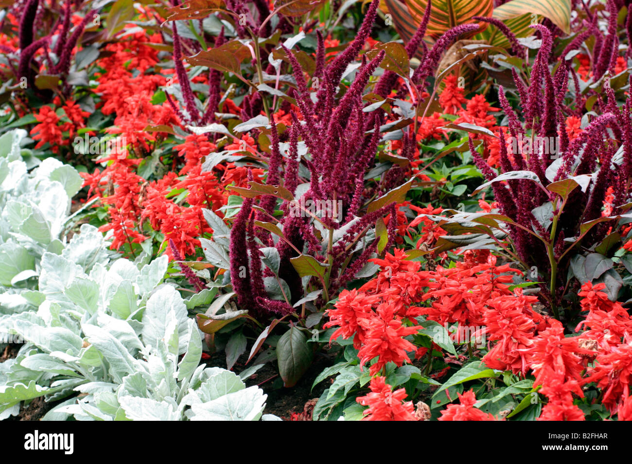 PARKS BEDDING WITH AMARANTHUS PANICULATA FOXTAIL CINERARIA MARITIMA AND SALVIA SPLENDENS - Stock Image