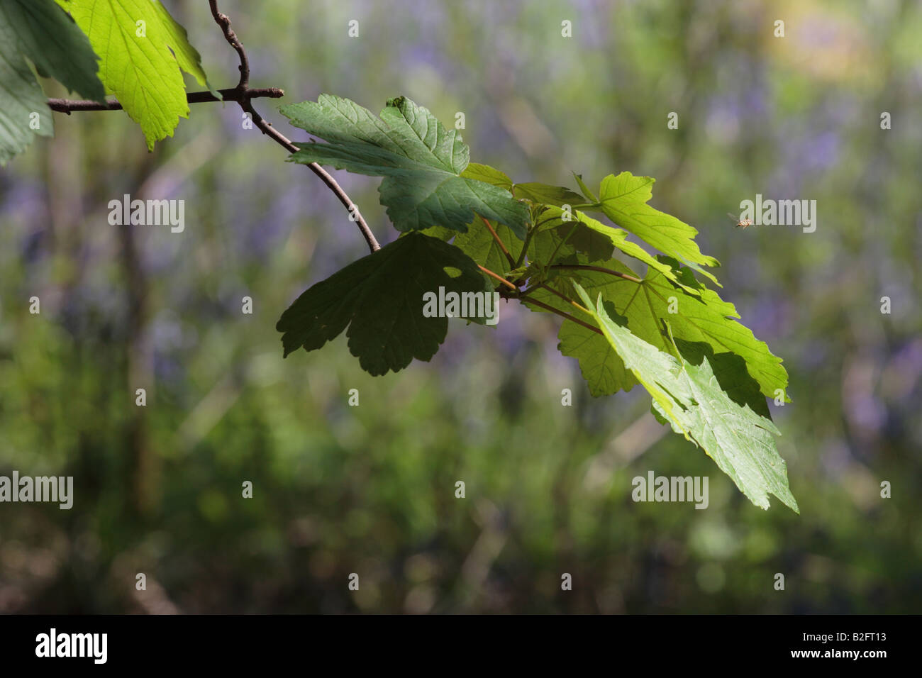 Woodland scene of spotlit Sycamore leaves and hoverfly against a background of Bluebells in Menstrie Wood. - Stock Image