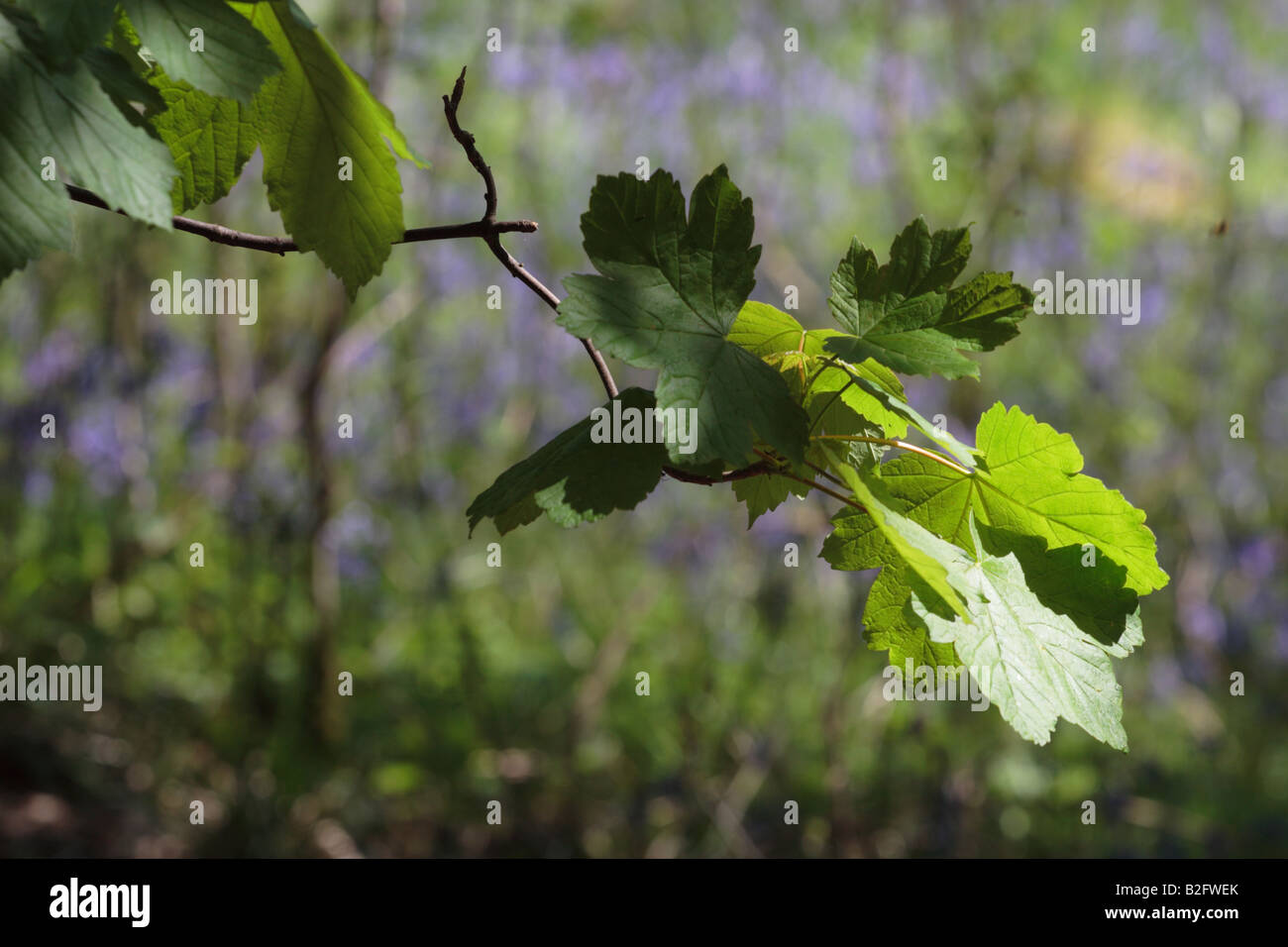 Woodland scene of spotlit Sycamore leaves against a background of Bluebells in Menstrie Wood. - Stock Image