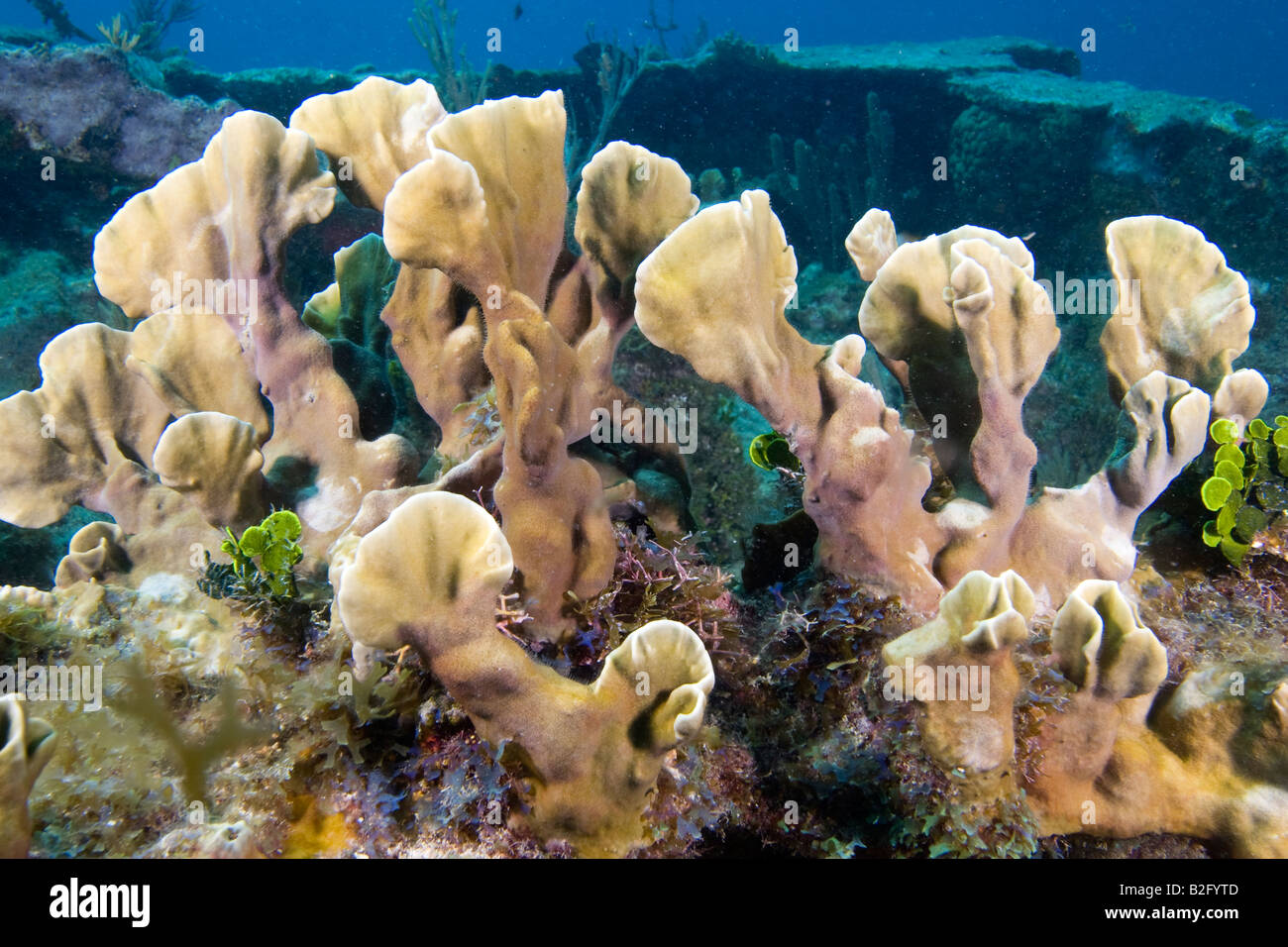 Blade Fire Coral growing on a shipwreck Florida Keys - Stock Image