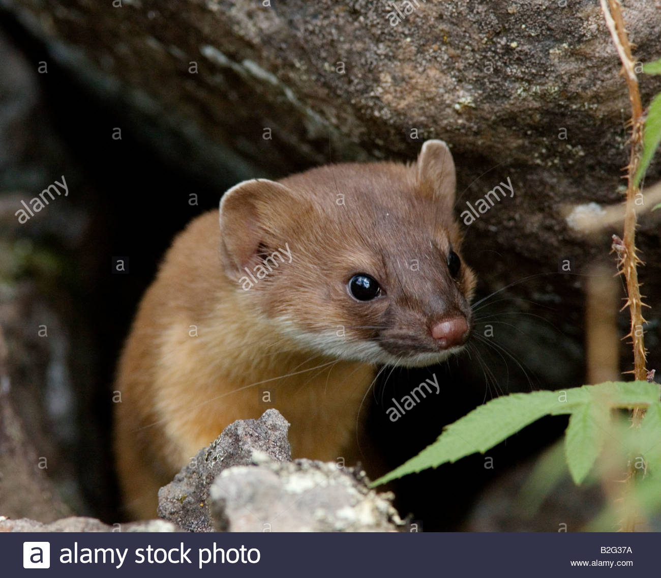 long-tailed-weasel-mustela-frenata-B2G37A.jpg