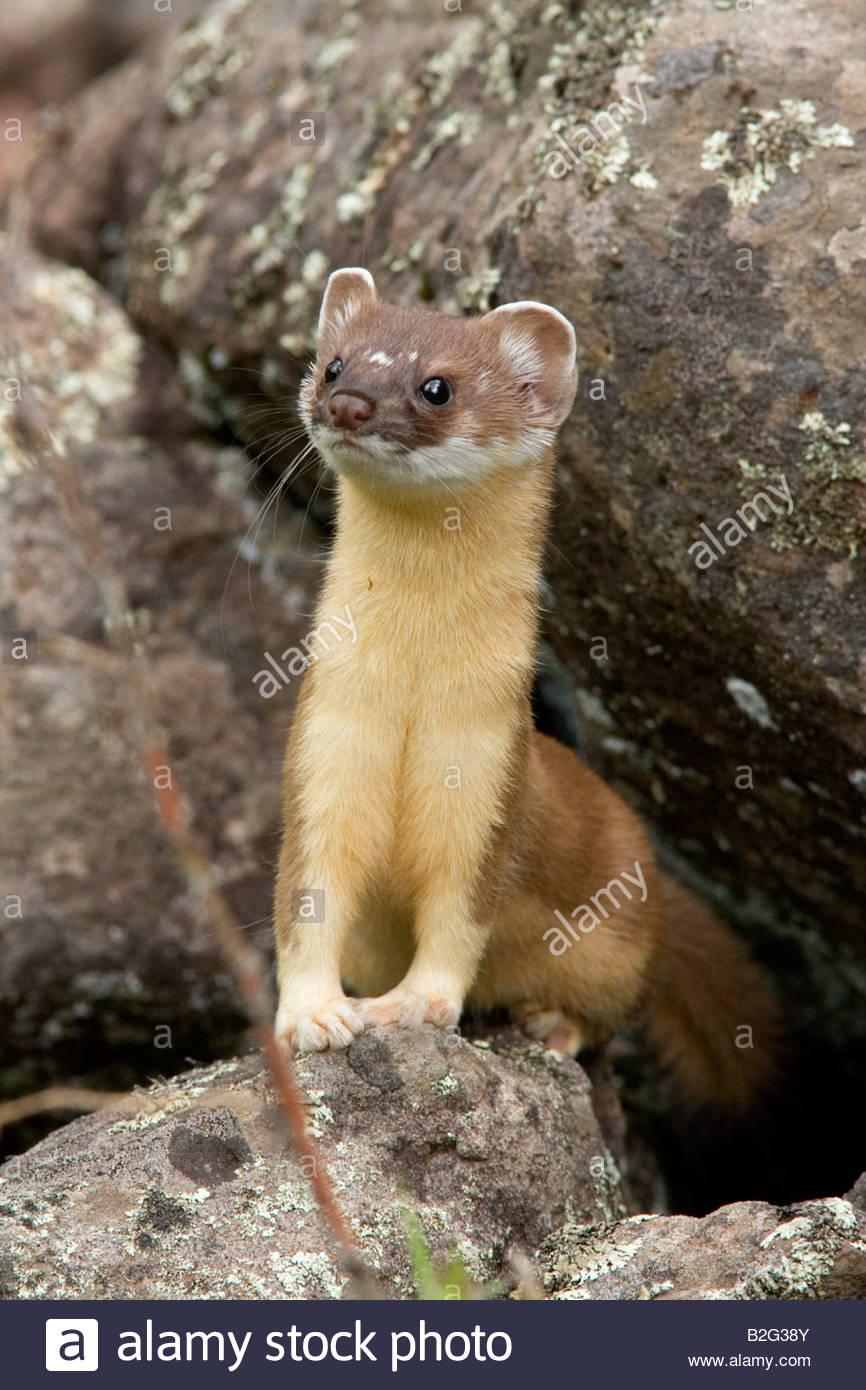 long-tailed-weasel-mustela-frenata-B2G38Y.jpg