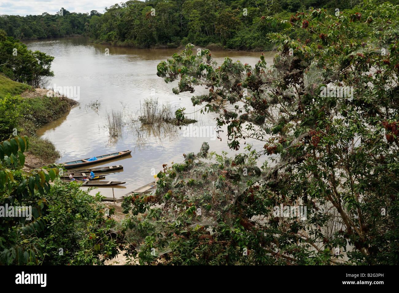 Tent caterpillars on the banks of the Yavari-Miri River, Yavari, Peru Amazon Rainforest - Stock Image