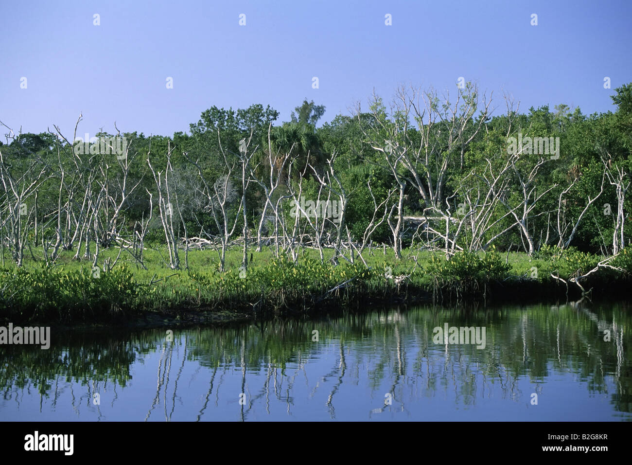 deadwood totholz florida amerika america usa - Stock Image