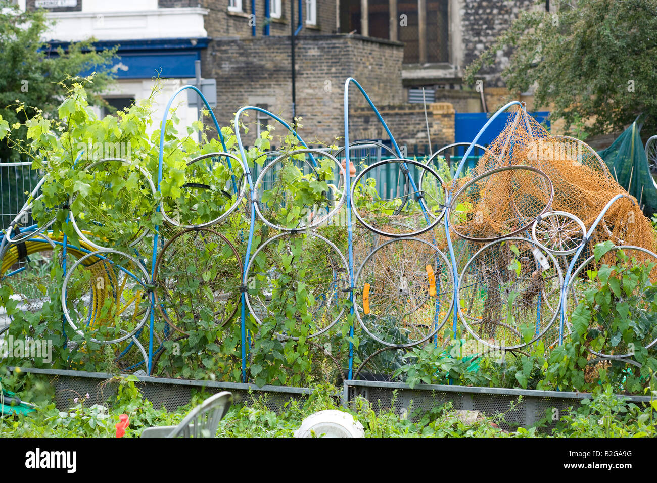 climbing frame for beans made from bicycle wheels Stock Photo ...