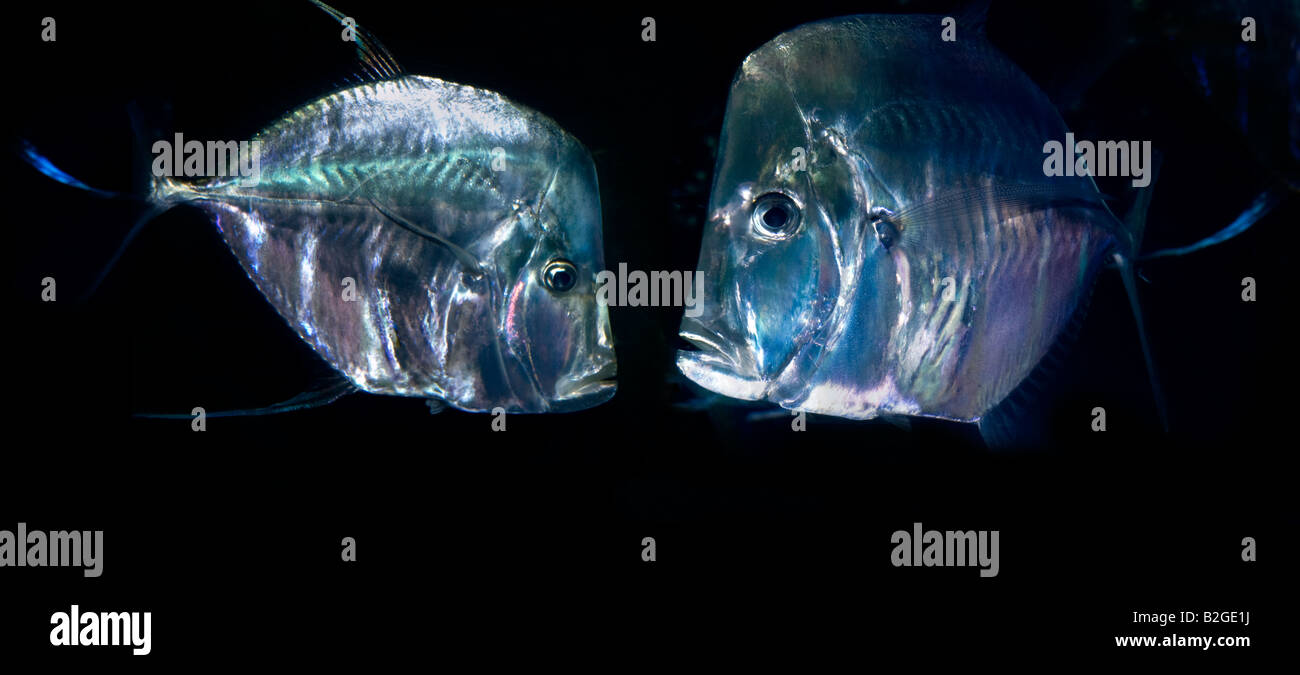 SELENE VOMER lookdown fish deeply compressed Selene vomer Look Down Fish - Stock Image