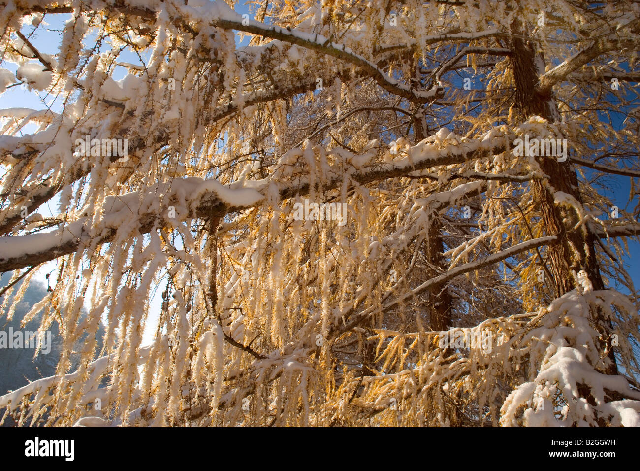 autumnal coloured larches freshly snow covered schwaebische alb germany Stock Photo