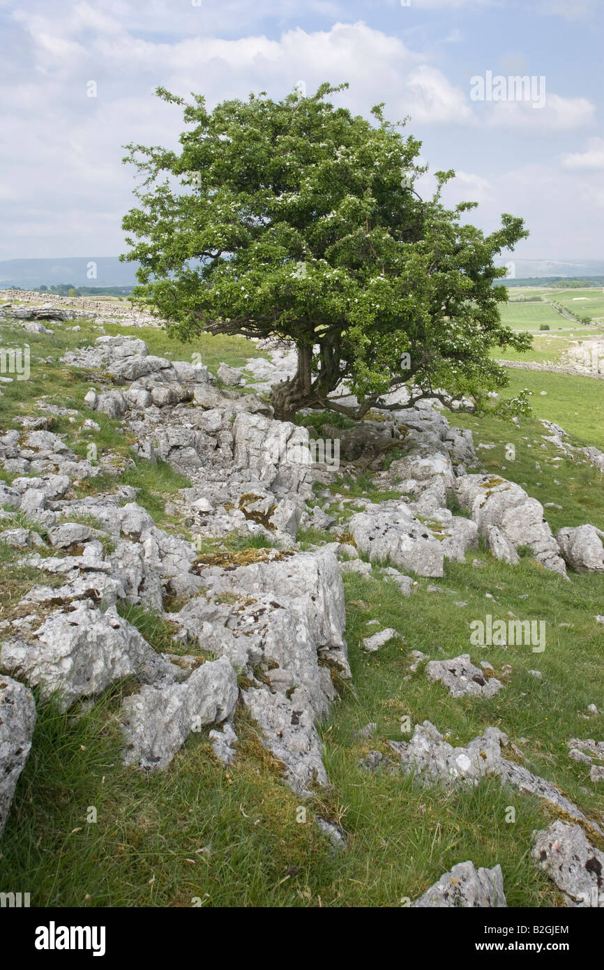 Hawthorn tree growing from limestone outcrop Cumbria - Stock Image