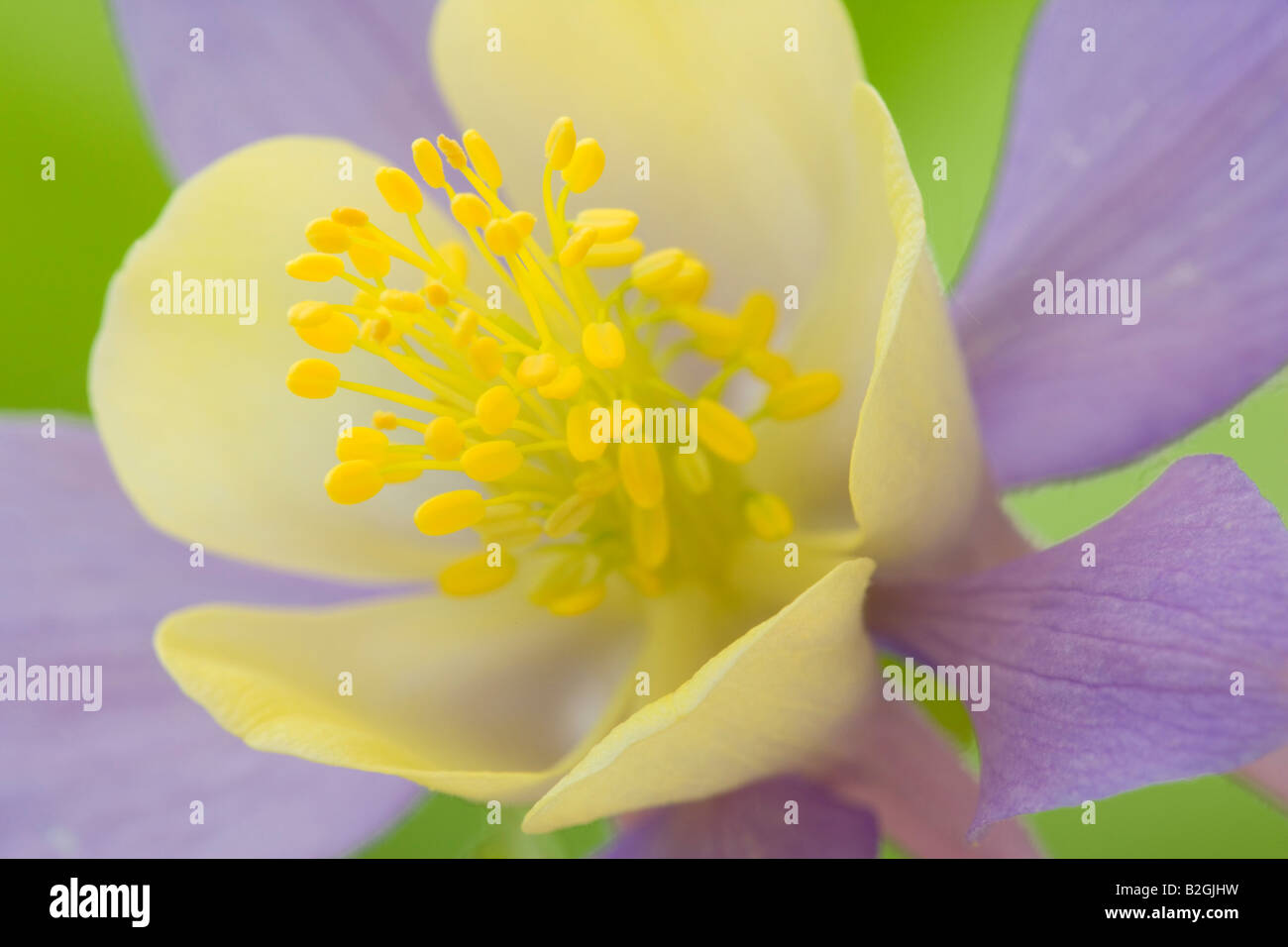 akelei aquilegia vulgaris columbine ancolie flower still stills background backgrounds patterns patterns close up - Stock Image