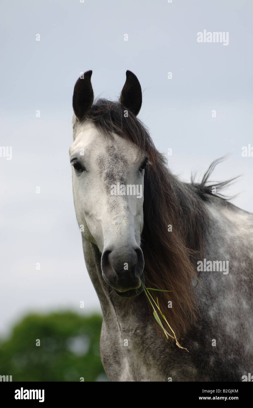 mildew portrait andalusian horse Equus ferus caballus Stock Photo