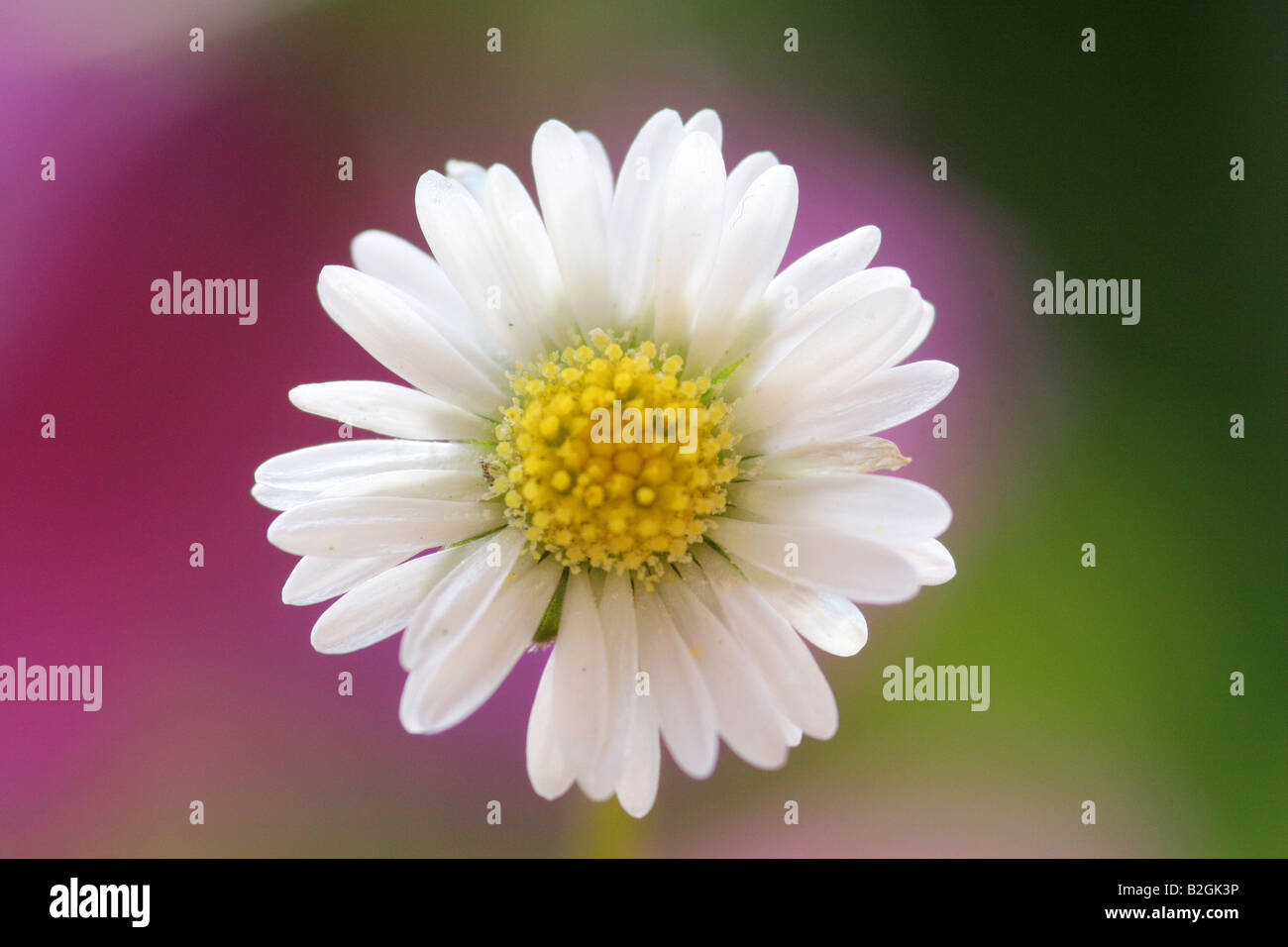 Lawn daisy Common daisy Bellis perennis english daisy bloom blossom still stills background backgrounds patterns - Stock Image
