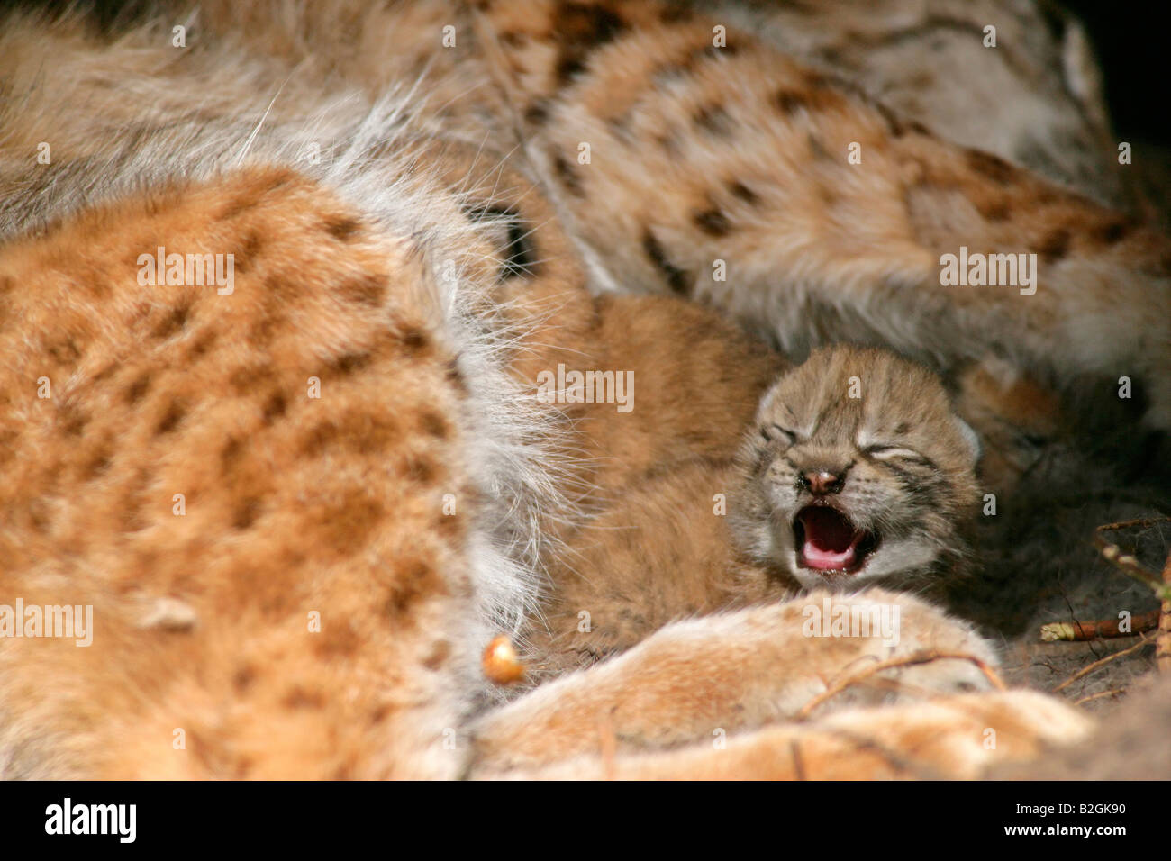 eurasian lynx dam catkin mother motherly love close up Lynx lynx cuddling bavaria germany Stock Photo