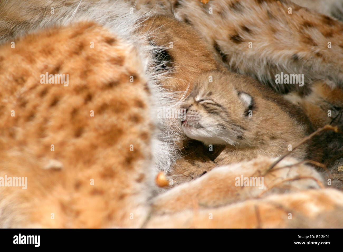 eurasian lynx dam catkin mother motherly love close up Lynx lynx cuddling bavaria germany - Stock Image