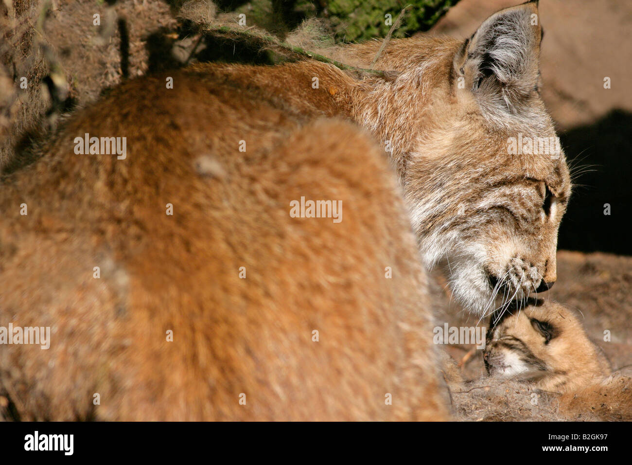 eurasian lynx dam catkin mother motherly love close up Lynx lynx cuddling bavaria germany pair couple - Stock Image