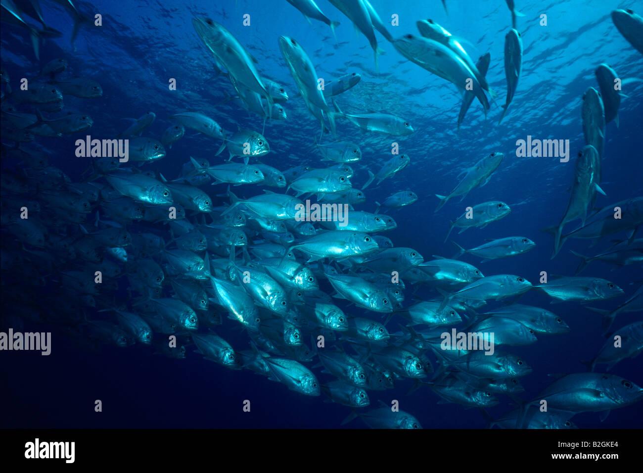 school of fishes  Bigeye trevally maldives Caranx sexfasciatus underwater submarine subaqua maledives - Stock Image