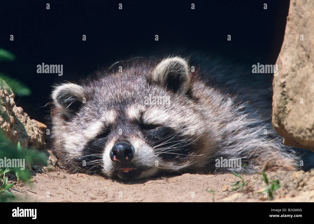 droll northern raccoon Procyon lotor relaxing germany zoo funny fun - Stock Image