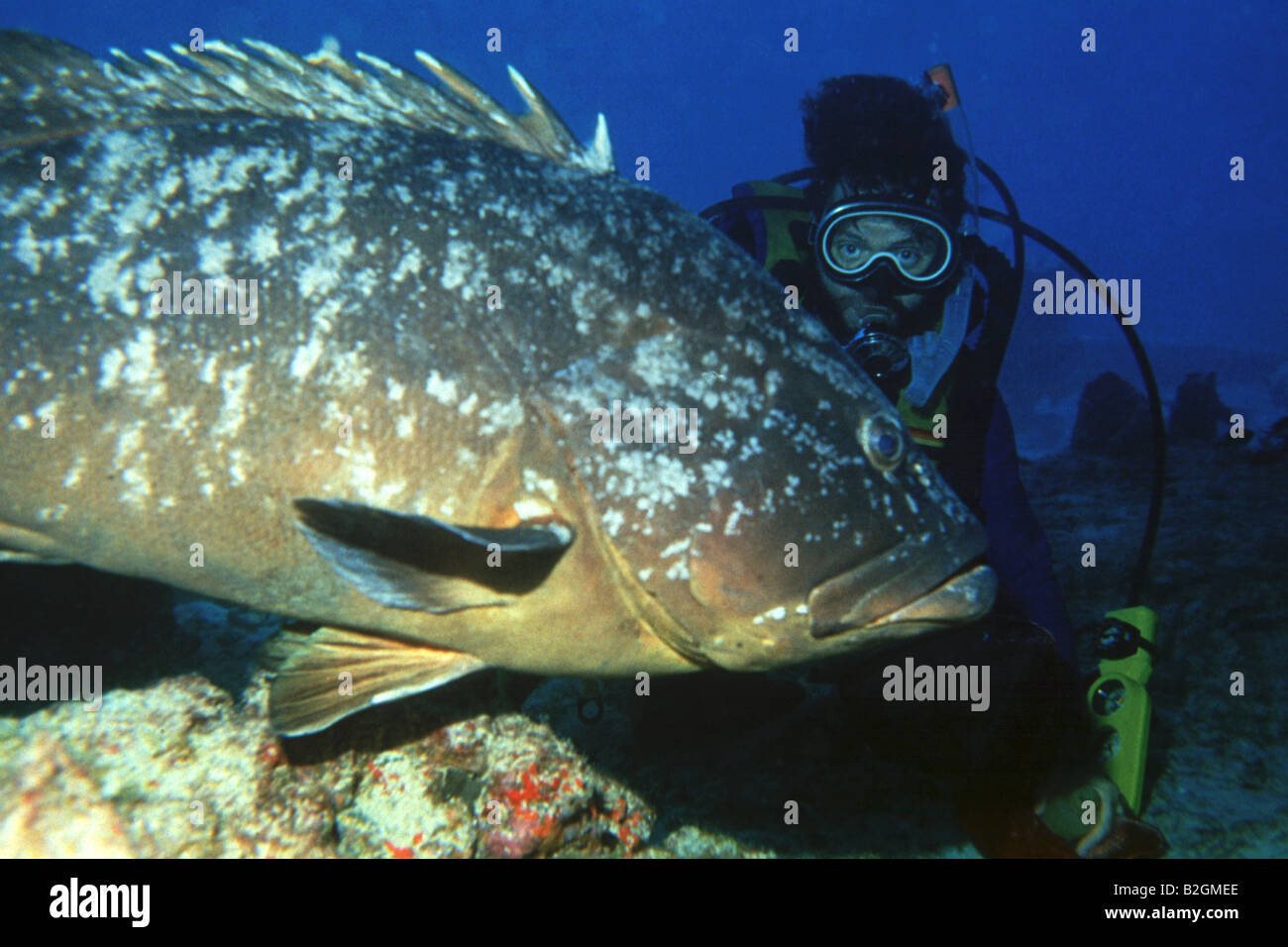 Diver and huge grouper - Stock Image