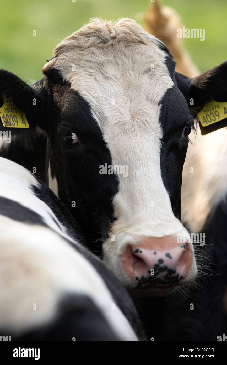 ear tags eyes and head of a friesian cow known as holsteins in north america in a dairy herd on a farm county down - Stock Image