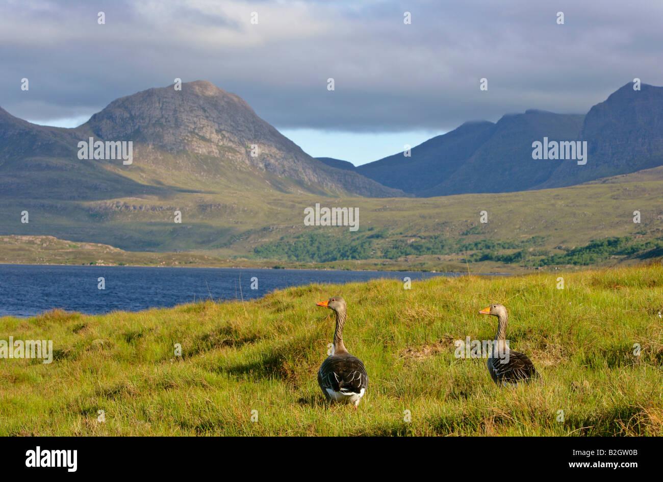 Pair couple Greylag Goose Anser anser gorgous lake mountain landscape Western Highlands Scotland UK Stock Photo