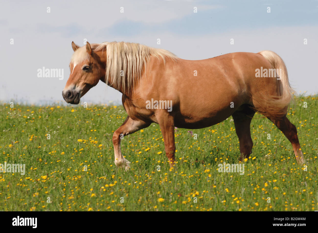 haflinger horse Avelignese Breed standards pasture willow - Stock Image