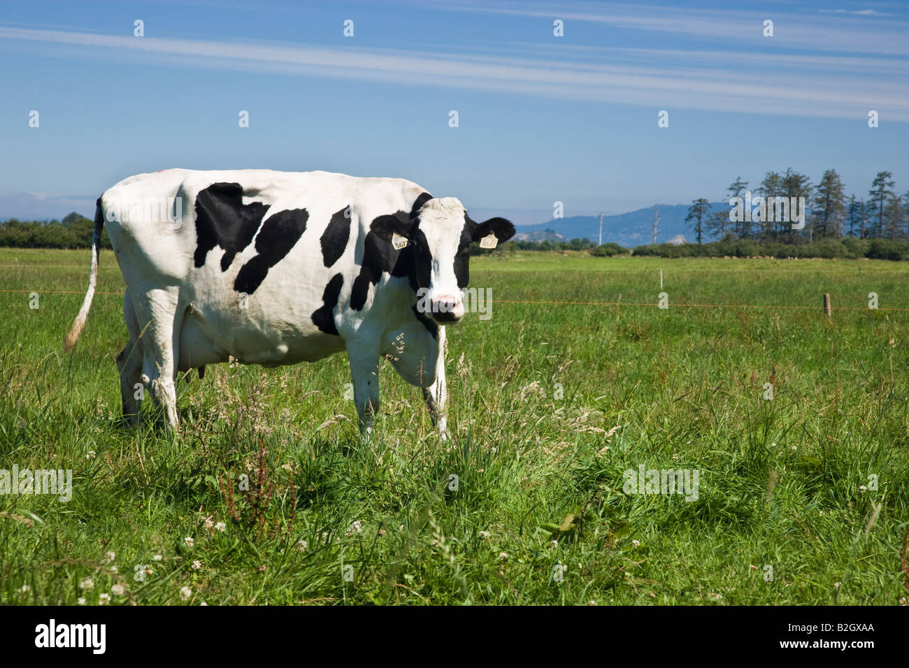 Holstein Cow, green pasture, Organic  'Eco' dairy. - Stock Image