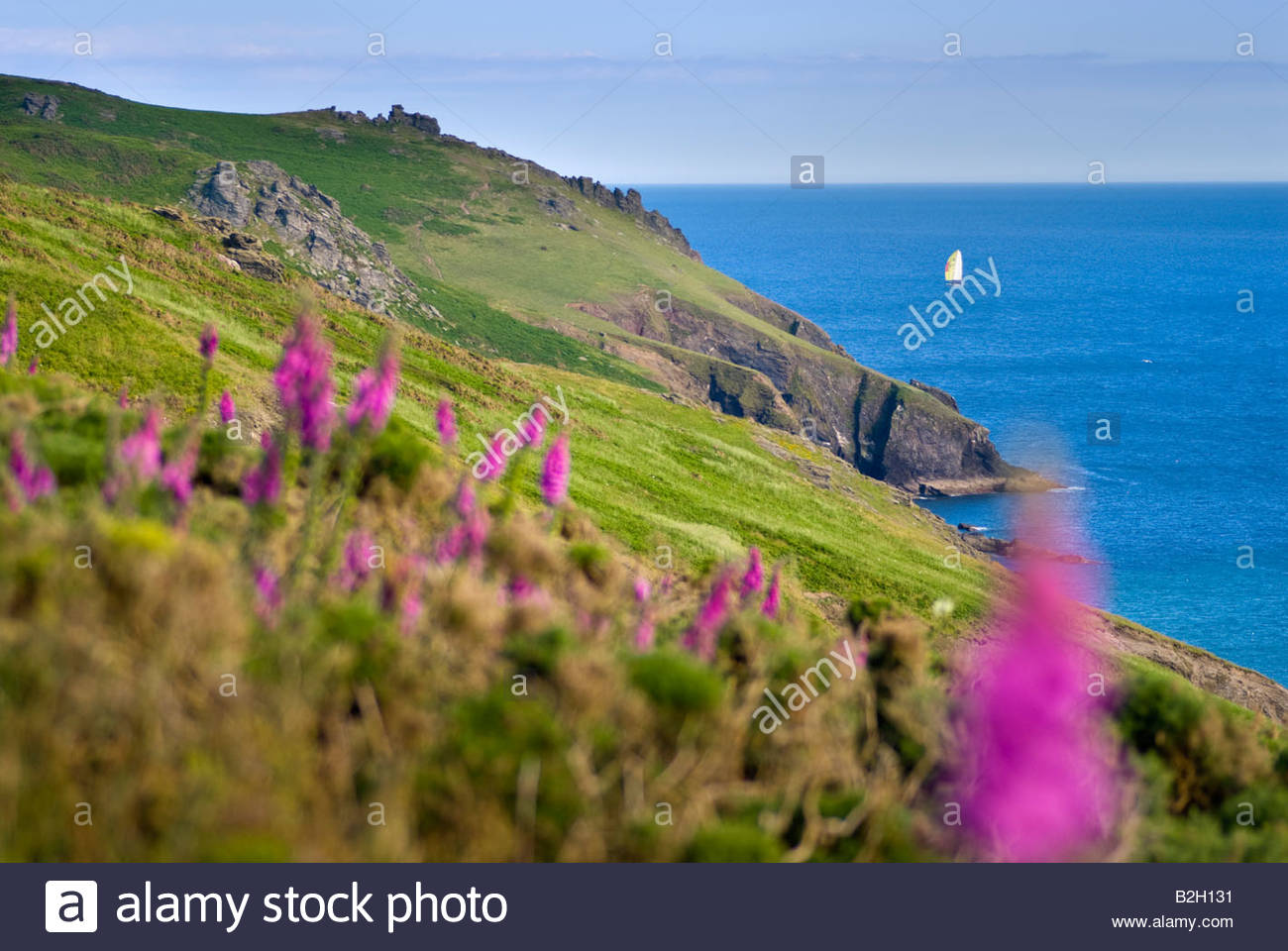 Foxgloves on the hillside near Soar Mill Cove, South Hams, South Devon, England. - Stock Image