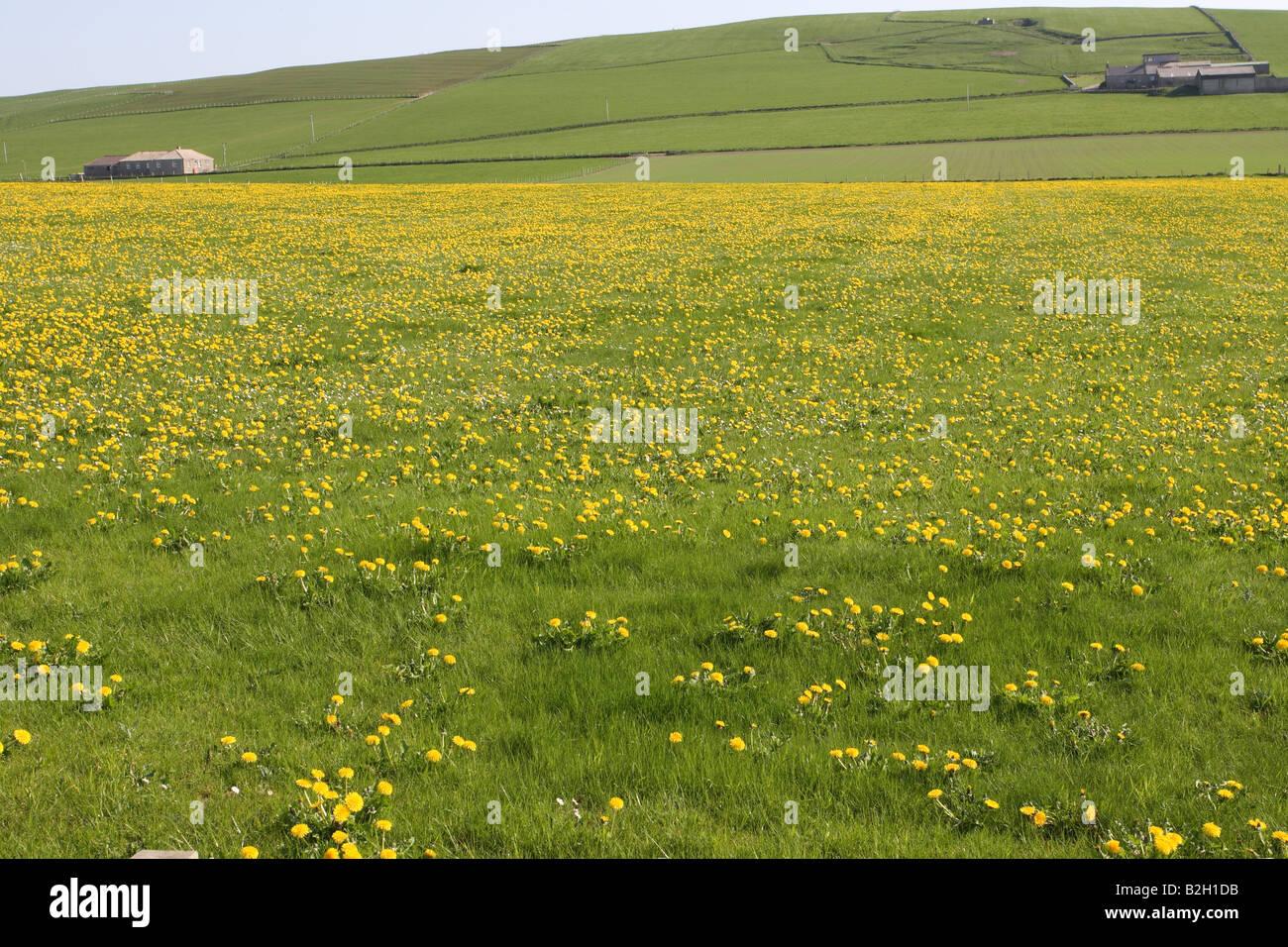 BUTTERCUPS FLOWERING IN GRASS FIELD ORKNEY ISLAND - Stock Image
