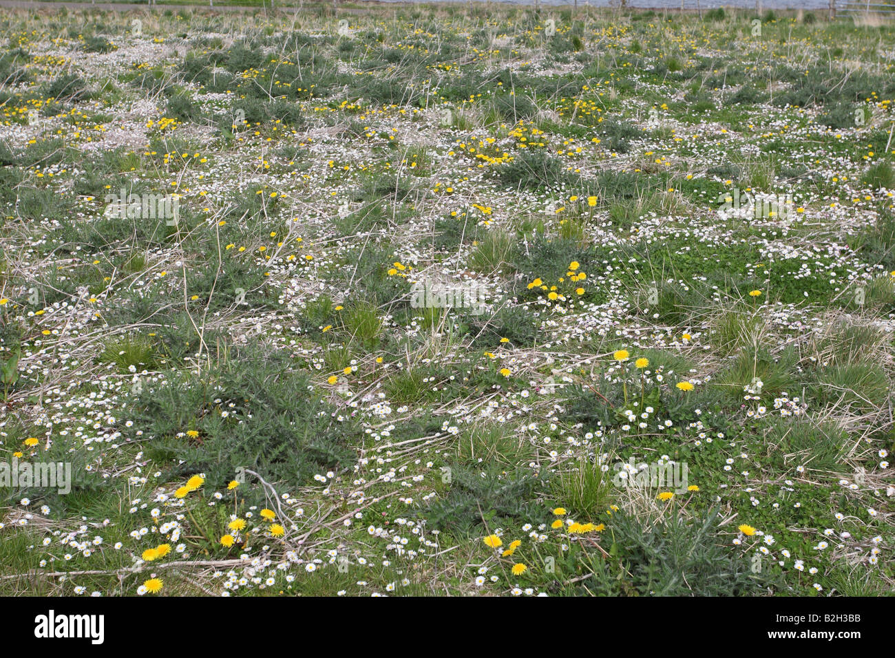 CONSERVATION AREA WITH DAISIES DANDELIONS AND THISTLES WILL PROVIDE SEEDS FOR FINCHES - Stock Image