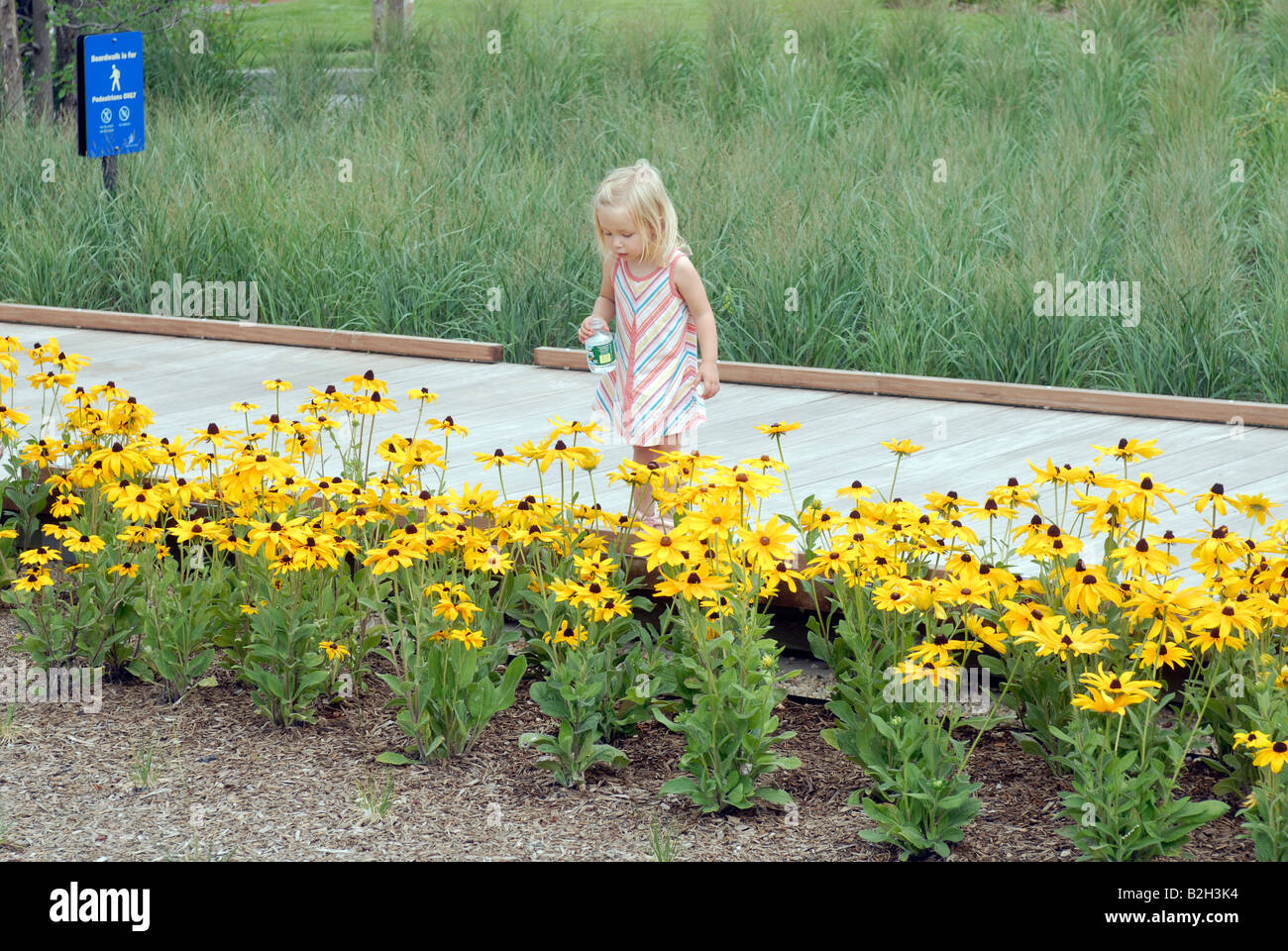 A child inspects the black eyed susans in the newly opened Tribeca section of Hudson River Park in New York - Stock Image