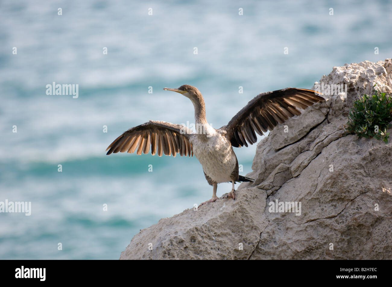 A young Cormorant airs it's wings Trieste Italy Europe - Stock Image