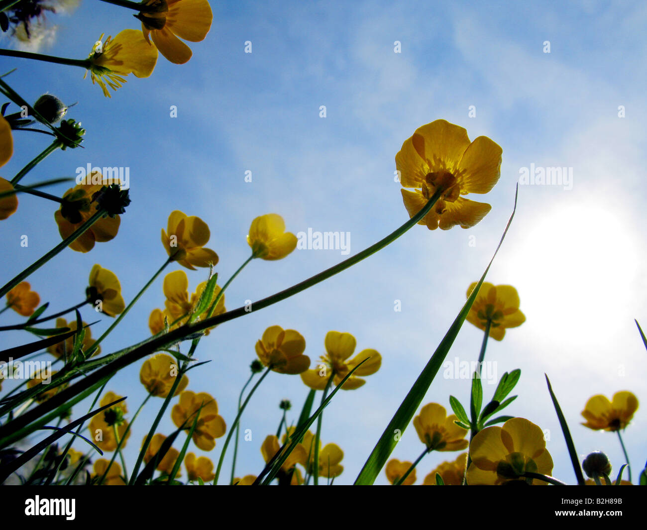 buttercups against the sky - Stock Image
