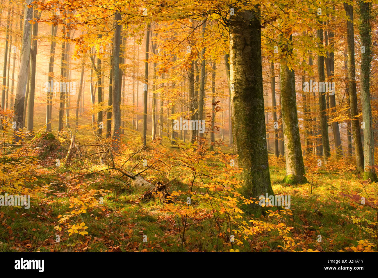 autumn forest leaves fall foliage Schwaebische Alb Germany autumnal colors colours deciduous trees - Stock Image